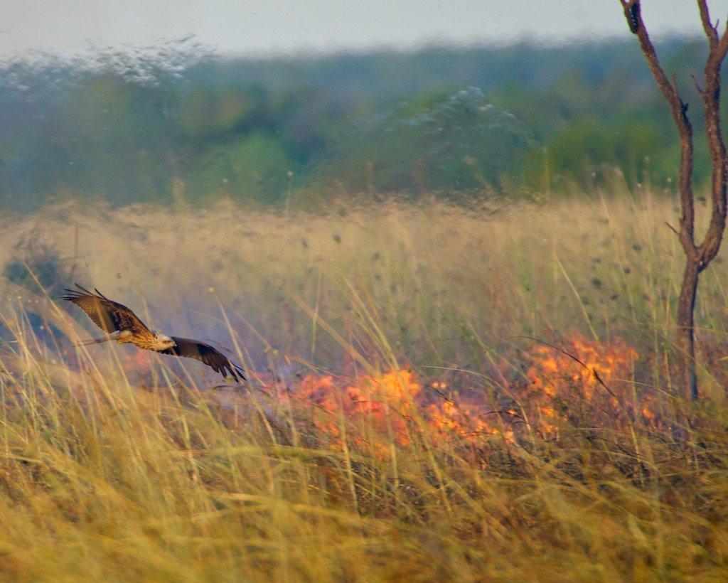 (VIDEO) AUSTRALIJA: Požari bi mogli imati katastrofalne razmjere zbog – pernatih piromana